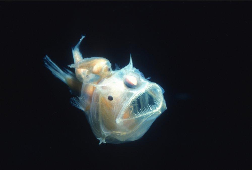 Lophiiformes (Anglerfish)