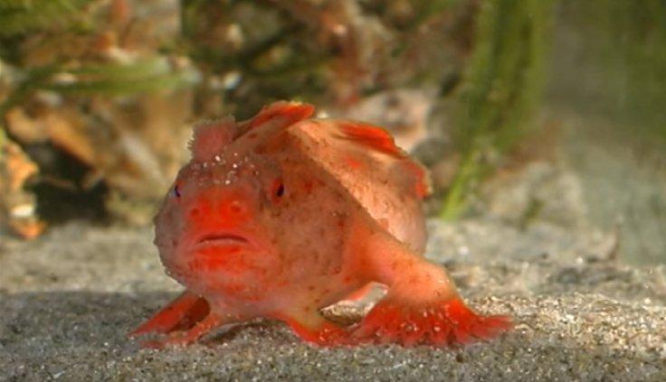 Peixe-mão manchado (Red Handfish)