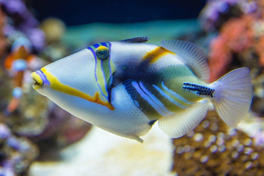 Peixe-porco (Triggerfish)