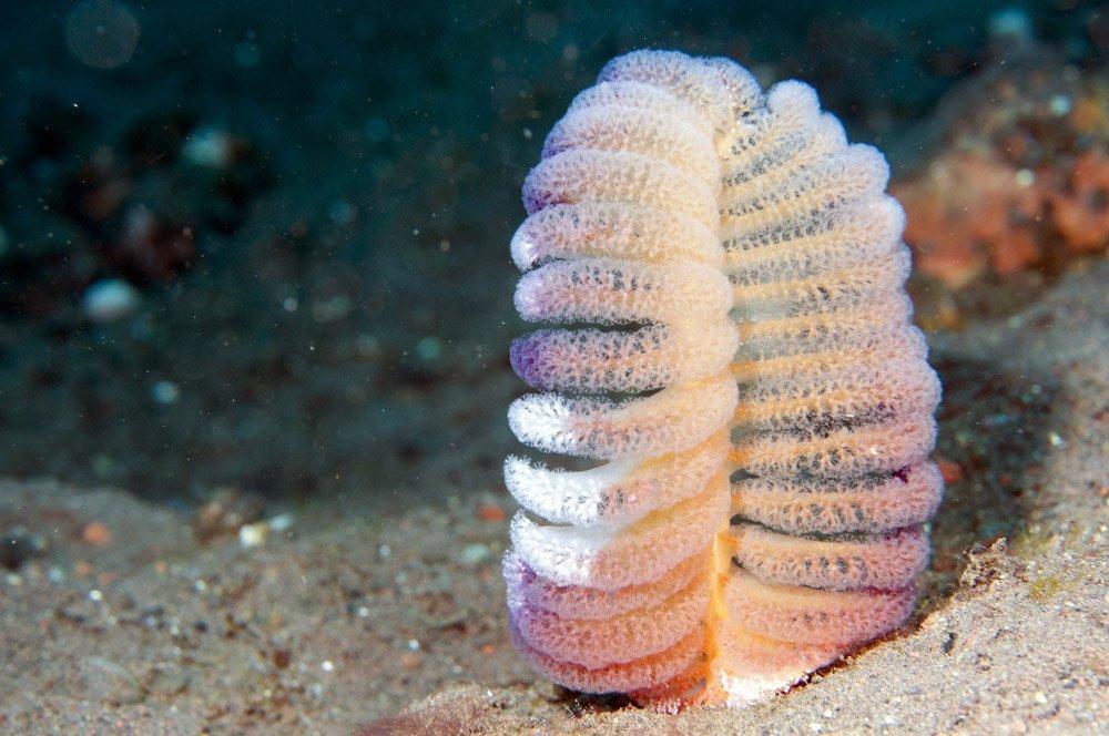 Pennatulacea (Sea Pen)