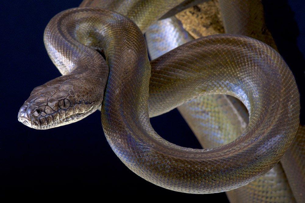 Python de azeitona papua