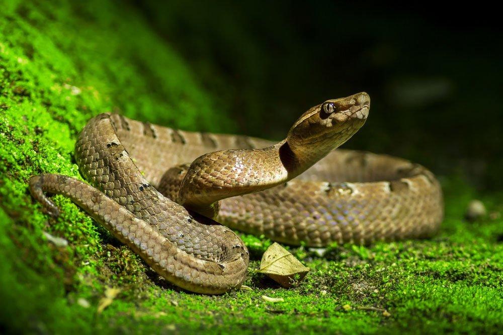 maiores especies de cobras do mundo