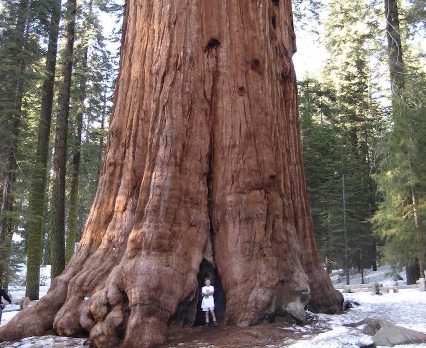 10 das maiores árvores do mundo 2
