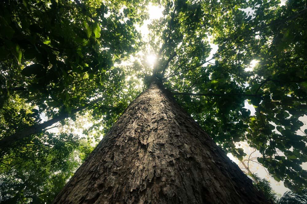 maiores árvores do mundo