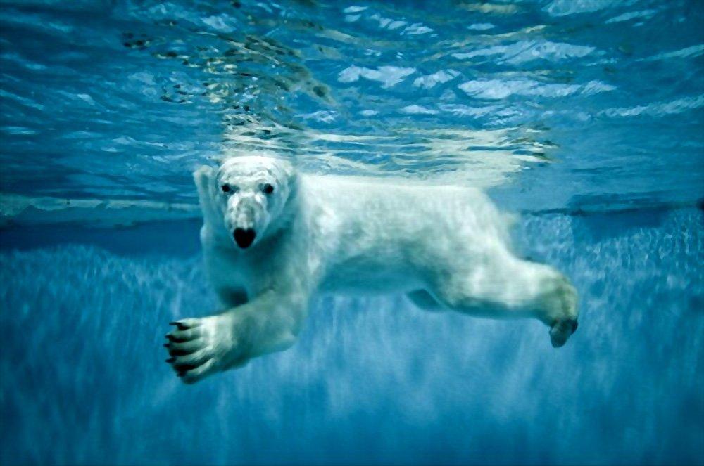 Fatos Interessantes sobre o Urso Polar