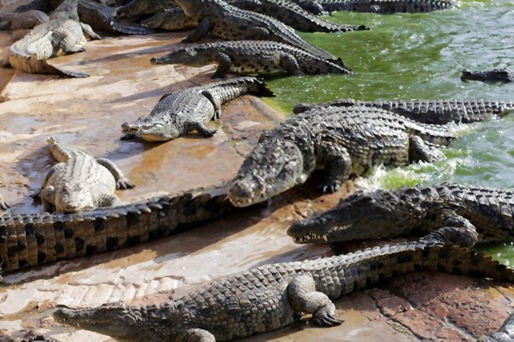 Fatos sobre Crocodilos
