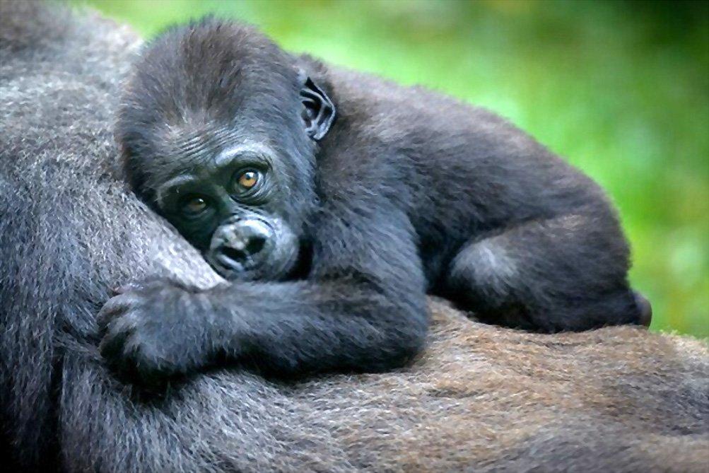 Fatos sobre Gorilas