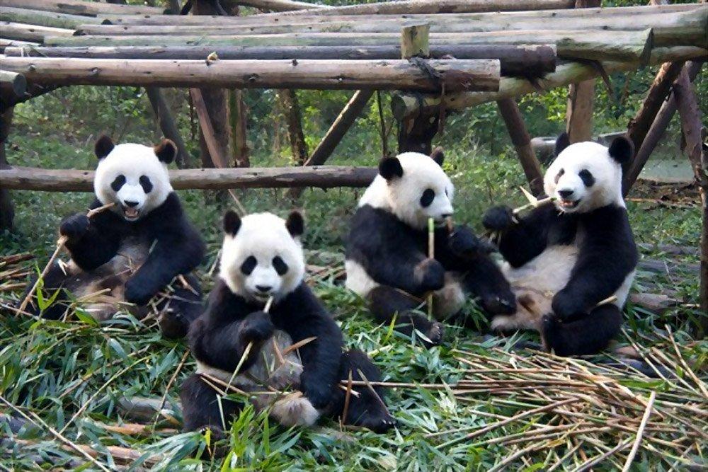 Fatos sobre Panda 1