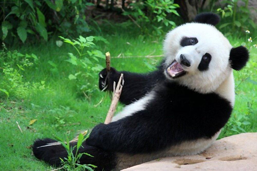 Fatos sobre Panda