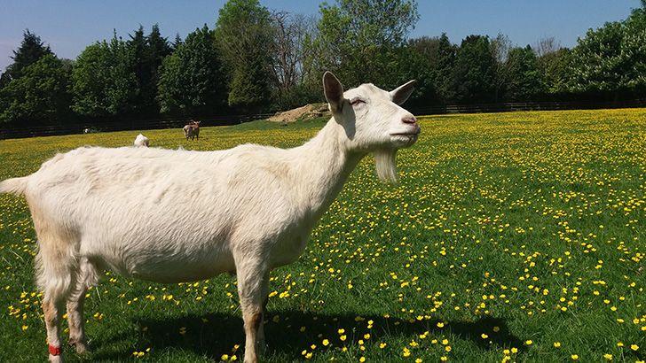 O Google aluga cabras