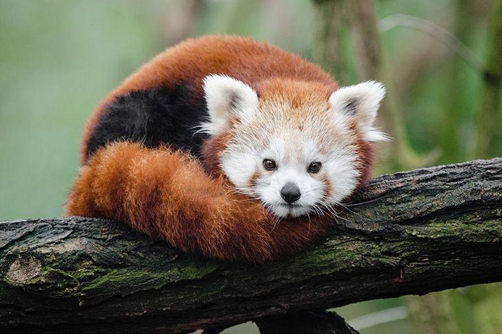 O logotipo do Firefox não é uma raposa